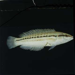 To NMNH Extant Collection (Coris centralis FIN029645 Slide 120 mm)