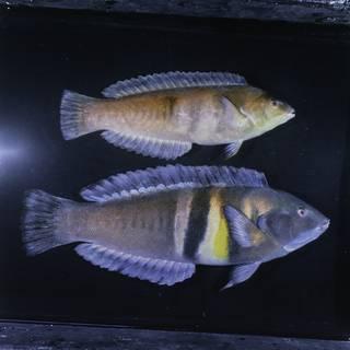 To NMNH Extant Collection (Coris sandeyeri FIN029717 Slide 120 mm)