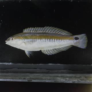 To NMNH Extant Collection (Coris sandeyeri FIN029718 Slide 120 mm)
