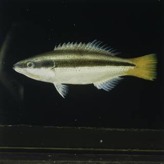 To NMNH Extant Collection (Diproctacanthus xanthurus FIN029733 Slide 120 mm)