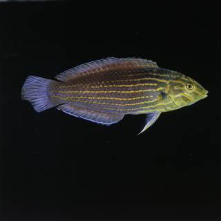 To NMNH Extant Collection (Halichoeres chlorocephalus FIN029789 Slide 120 mm)