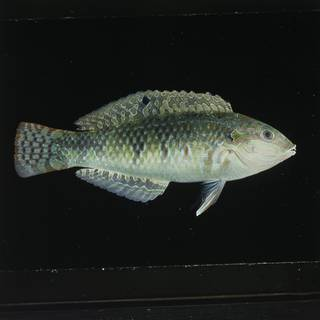 To NMNH Extant Collection (Halichoeres margaritaceus FIN029845 Slide 120 mm)