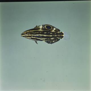 To NMNH Extant Collection (Halichoeres marginatus FIN029846 Slide 120 mm)