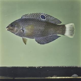 To NMNH Extant Collection (Halichoeres marginatus FIN029847 Slide 120 mm)