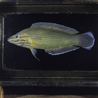 To NMNH Extant Collection (Halichoeres richmondi FIN029915 Slide 120 mm)
