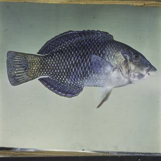 To NMNH Extant Collection (Hemigymnus melapterus FIN029958 Slide 120 mm)