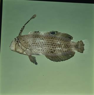 To NMNH Extant Collection (Iniistius pavo FIN030042 Slide 120 mm)