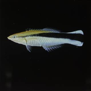 To NMNH Extant Collection (Labroides dimidiatus FIN030064 Slide 120 mm)