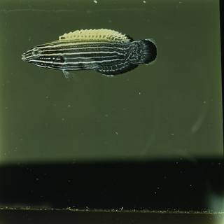To NMNH Extant Collection (Labropsis xanthonota FIN030094 Slide 120 mm)