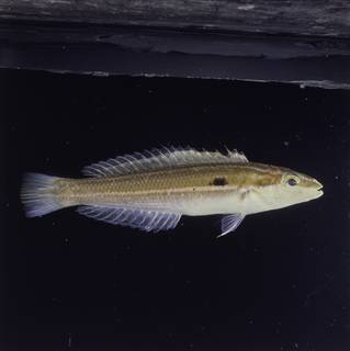 To NMNH Extant Collection (Leptojulis polylepis FIN030114 Slide 120 mm)