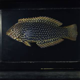 To NMNH Extant Collection (Macropharyngodon ornatus FIN030145 Slide 120 mm)