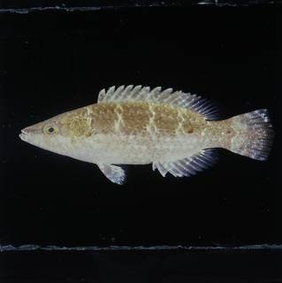 To NMNH Extant Collection (Oxycheilinus nigromarginatus FIN030186 Slide 120 mm)