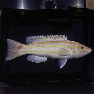 To NMNH Extant Collection (Polylepion russelli FIN030229 Slide 120 mm)