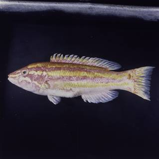 To NMNH Extant Collection (Polylepion russelli FIN030230 Slide 120 mm)