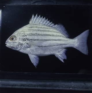 To NMNH Extant Collection (Pomadasys furcatus FIN029041 Slide 120 mm)