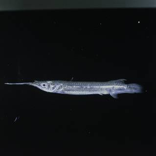 To NMNH Extant Collection (Zenarchopterus FIN029101 Slide 120 mm)