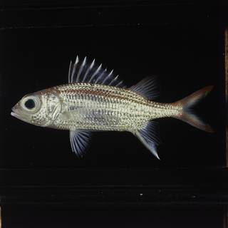 To NMNH Extant Collection (Neoniphon argenteus FIN029173 Slide 120 mm)