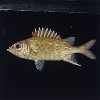 To NMNH Extant Collection (Neoniphon aurolineatus FIN029175 Slide 120 mm)