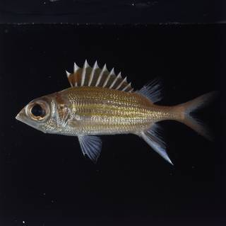 To NMNH Extant Collection (Neoniphon aurolineatus FIN029176 Slide 120 mm)