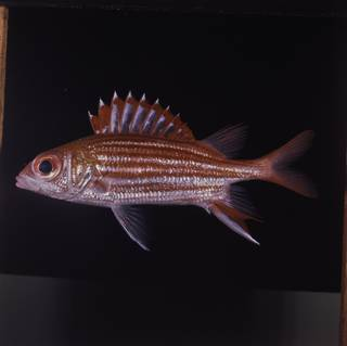 To NMNH Extant Collection (Sargocentron microstoma FIN029239 Slide 120 mm)