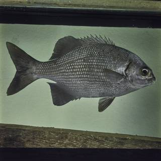 To NMNH Extant Collection (Kyphosus cinerascens FIN029289 Slide 120 mm)