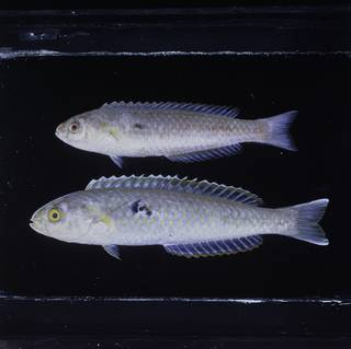 To NMNH Extant Collection (Ammolabrus dicrus FIN029295B Slide 120 mm)