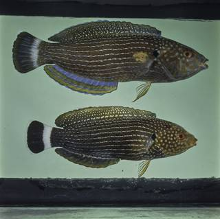 To NMNH Extant Collection (Anampses lineatus FIN029329 Slide 120 mm)