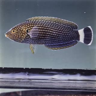 To NMNH Extant Collection (Anampses lineatus FIN029330 Slide 120 mm)