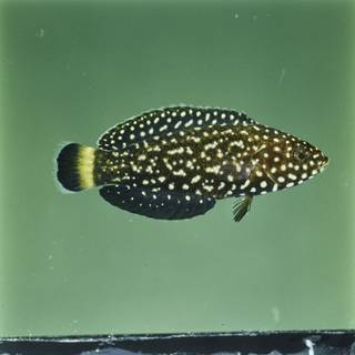 To NMNH Extant Collection (Anampses melanurus FIN029332 Slide 120 mm)