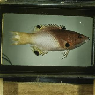 To NMNH Extant Collection (Bodianus axillaris FIN029349 Slide 120 mm)