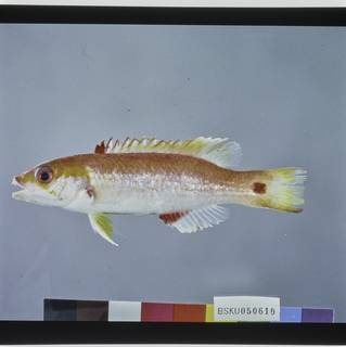 To NMNH Extant Collection (Bodianus cylindriatus FIN029366 Slide 120 mm)