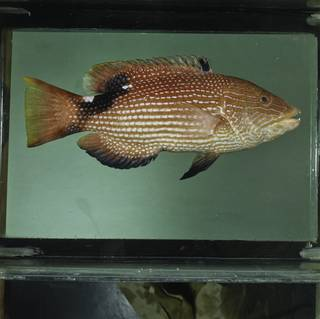 To NMNH Extant Collection (Bodianus loxozonus FIN029371 Slide 120 mm)