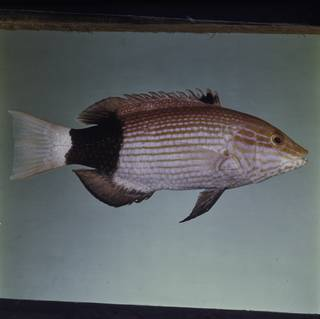 To NMNH Extant Collection (Bodianus macrourus FIN029378 Slide 120 mm)