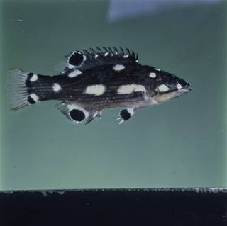 To NMNH Extant Collection (Bodianus neilli FIN029382 Slide 120 mm)