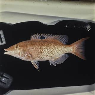To NMNH Extant Collection (Bodianus unimaculatus FIN029393 Slide 120 mm)