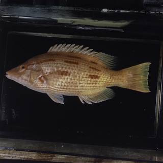 To NMNH Extant Collection (Bodianus vulpinus FIN029394 Slide 120 mm)
