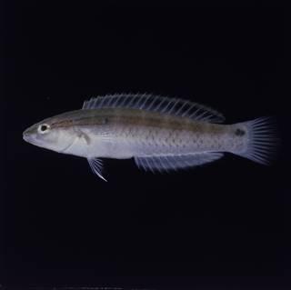 To NMNH Extant Collection (Suezichthys gracilis FIN030391 Slide 120 mm)