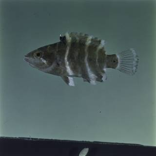 To NMNH Extant Collection (Cheilinus fasciatus FIN029411 Slide 120 mm)