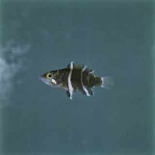 To NMNH Extant Collection (Cheilinus fasciatus FIN029412 Slide 120 mm)
