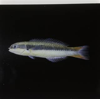To NMNH Extant Collection (Thalassoma amblycephalum FIN030399 Slide 120 mm)