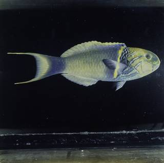 To NMNH Extant Collection (Thalassoma hebraicum FIN030422 Slide 120 mm)
