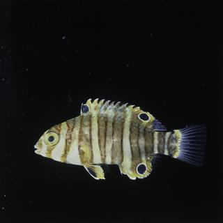To NMNH Extant Collection (Choerodon fasciatus FIN029462 Slide 120 mm)