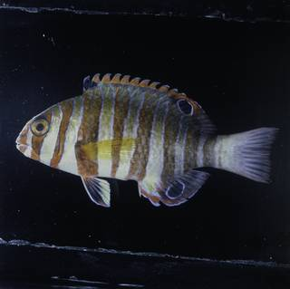 To NMNH Extant Collection (Choerodon fasciatus FIN029463 Slide 120 mm)