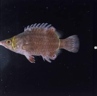 To NMNH Extant Collection (Wetmorella nigropinnata FIN030478 Slide 120 mm)