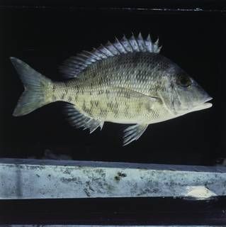 To NMNH Extant Collection (Lethrinus borbonicus FIN030549 Slide 120 mm)