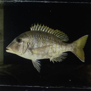 To NMNH Extant Collection (Lethrinus crocineus FIN030553 Slide 120 mm)