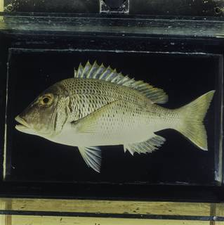 To NMNH Extant Collection (Lethrinus crocineus FIN030554 Slide 120 mm)