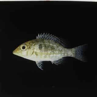 To NMNH Extant Collection (Lethrinus obsoletus FIN030586B Slide 120 mm)