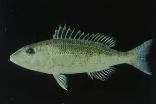 To NMNH Extant Collection (Lethrinus variegatus FIN030601 Slide 35 mm)