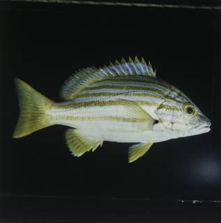To NMNH Extant Collection (Lutjanus carponotatus FIN030645 Slide 120 mm)